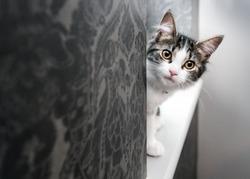 Curious young kitten peeking around a corner