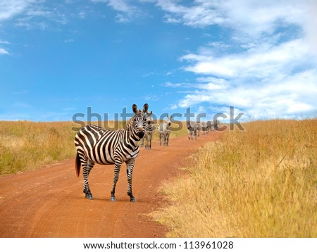 Curious zebras looking and standing on the road in savannah with blue cloudy sky in the background