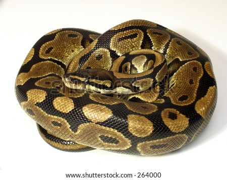 Curled Ball python