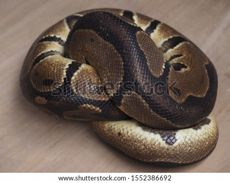 Curled sleeping Python snake. Top view close up details. Beautiful pattern skin. Stock foto ©