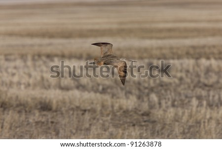 Curlew in FLight Saskatchewan Canada