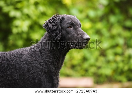 curly coated retriever dog outdoors