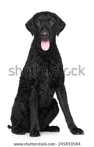Curly Coated retriever on white background