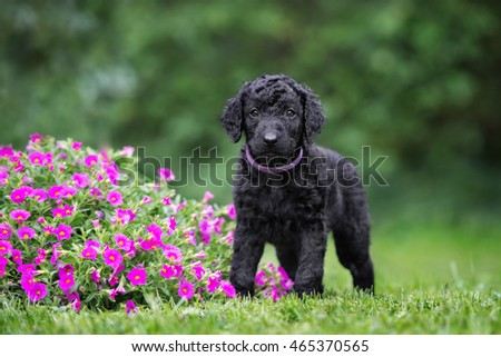 curly coated retriever puppy posing outdoors in summer