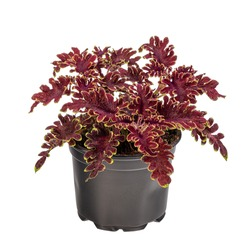 Curly coleus in dark purple color with green border in flowerpot isolated on white background