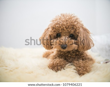 Curly-Haired Toy Poodle - Shutterstock ID 1079406221