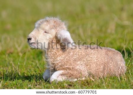 curly lamb