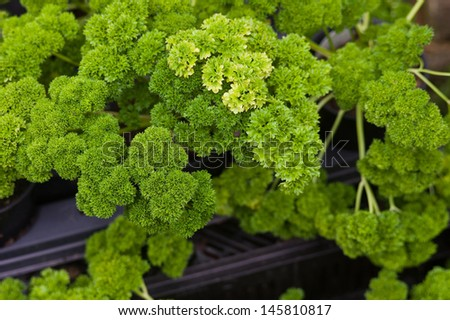 Curly parsley leaves closeup in the garden