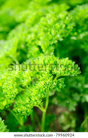 Curly Parsley on Vegetable Patch