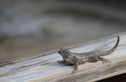 Curly-tailed lizard on a wood railing at the beach in South Florida. Leiocephalidae lizard. Reptile on a wood railing with soft-focus background.