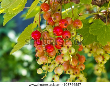 Currant bush with clusters of unripe red berries.