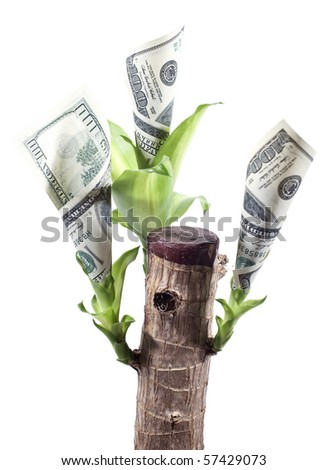currency plant with growing dollars isolated on black background close up
