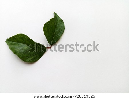 Curry Leaf #728513326