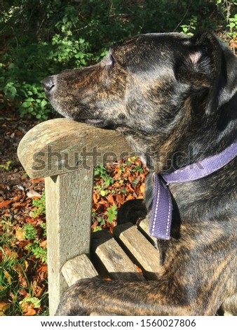Cursinu brindle family dog relaxing in the sun, resting his head on the wooden arm rest on a bench in the park.
