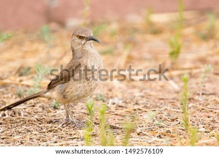 curve-billed thrasher surveying locale for foraging opportunities
