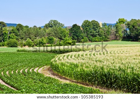 Curved rows of corn and soybeans growing in summer