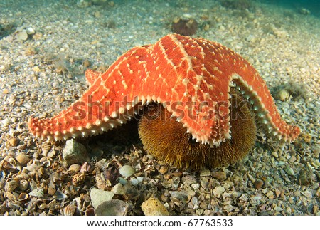 Cushion Sea Star getting ready to try and consume a Sea Urchin picture taken under the Blue Heron Bridge in Palm Beach Florida.