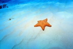 Cushion sea star (Oreaster reticulatus) on the sandy bottom of the caribbean sea