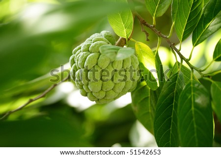 Custard apple agriculture, apple,