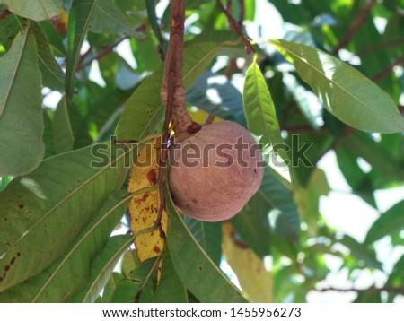 Custard Apple Fruit trees pic