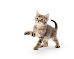 Cut baby tabby kitten playing and swinging its paws on white background