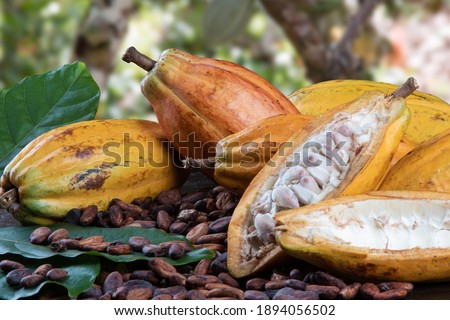 Cut cocoa fruits and raw cocoa beans with defocused cocoa plantation in the background