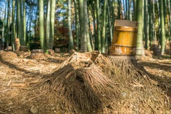Cut down bamboo trunks and bamboo roots at the bamboo grove at Kodaiji zen buddhist temple in Kyoto, Japan
