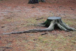 Cut down tree stump with roots extending