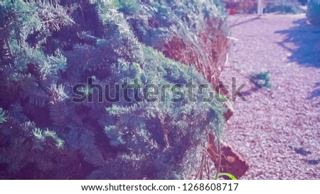 Cut evergreens at the Christmas tree farm. #1268608717