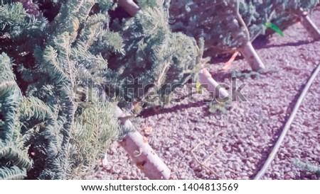 Cut evergreens at the Christmas tree farm. #1404813569