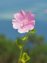 Cut-leaved or Vervain Mallow, light pink blossom, close up. Malva Alcea or Hollyhock Mallow, showy flower with bright pink veins is herbaceous, perennial, flowering plant in the family of Malvaceae.