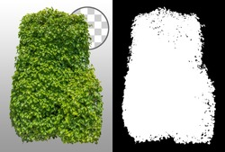 Cut out green hedge. Bush in summer isolated on transparent background via an alpha channel. Green shrub with lush foliage.