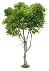 Cut out green tree. Shrub isolated on white background. Cutout deciduous tree in summer. High quality image for professional composition.