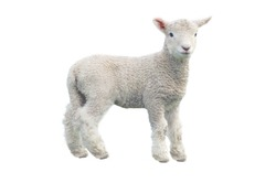 Cut out of young sheep isolated on white background looking at camera. No people. Copy space