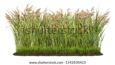 Cut out plant. Reed grass. Cattail and reed plant isolated on white background. Cutout distaff and bulrush. High quality clipping mask for professional composition.  Stockfoto ©