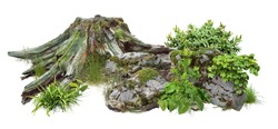 Cut out tree stump. Mossy tree roots. Old tree stub surrounded by green foliage. Dead tree isolated on white background. High quality clipping mask.
