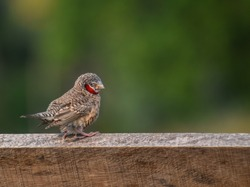 Cut-throat finch perching on fence at Grasslands in Jurong Lake Gardens - bird of Singapore.