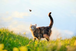 cute a tabby cat walks through a summer sunny meadow and looks at a passing butterfly