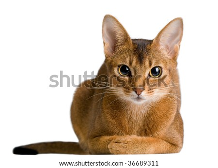 cute abyssinian cat