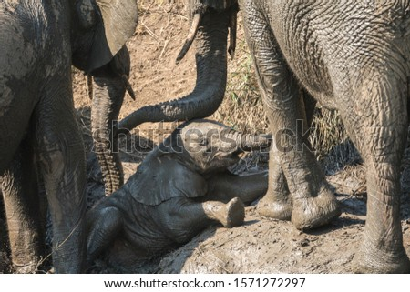 cute adorable baby African elephant (Loxodonta africana) trying to get up a muddy slippery slope of a river bank while being assisted by the trunks of two adult elephants in the wild of South Africa