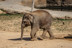 Cute adorable baby elephant in spectacular Elephant Valley, ZOO Czech Republic.Indian elephants.Animal with long trunk,tusks,large ear flaps, massive legs.