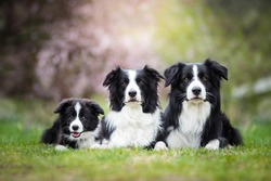 Cute Adorable Black And White Border Collies Family Laying