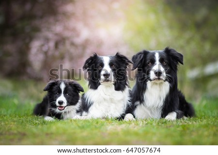 Cute Adorable Black And White Border Collies Family Laying  #647057674
