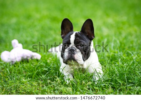 Cute adorable black and white french bulldog puppy in the grass, french bulldog puppy portrait in grass #1476672740