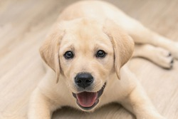 Cute adorable little golden labrador puppy is lying on floor of house