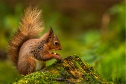Cute adorable little Red Squirrel sitting on a mossy tree stump on the woodland floor nibbling on a tasty hazelnut. Soft bokeh green background with space on the right for text.