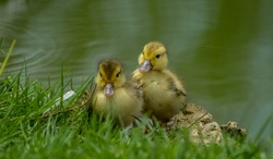 Cute adorable mallard duckling in a pond at a farm South Africa