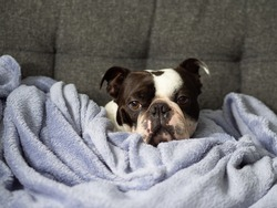 Cute adorable purebred Boston Terrier dog wrapped up in the blankets Black and white puppy relaxing, Portrait of cute animal with funny face, Dog looking cosy, Lazy dog, Sad looking dog, Grumpy puppy