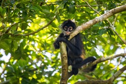 Cute adorable spider monkey close up natural habitat in jungle on the tree