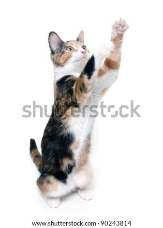 Cute adult pet cat on white background